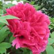 楽しい園芸 紅牡丹の開花