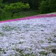4月24日(火)  小雨 秩父羊山公園の芝桜