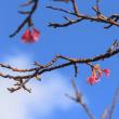 続・「桜がさいております」2018 大和村林道マテリア線 フォレストポリス 水辺の広場