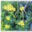 秋の野に咲きたる七種(ななくさ)の花(^^♪たおやかな美人にたとえられる「オミナエシ(女郎花)」