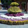 香港の風景② 寺院の菊の花