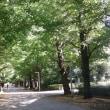 敬老の祝日は、駒場の学内のイチョウ並木から茶会へ