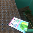 ミニ白菜播種(1回目)