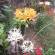 白い彼岸花がきれいです 170921