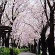 沼津門池の桜