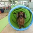 幼稚園体験にきてくれた【レイくん】(*^-^*)  犬のしつけ教室@アロハドギー