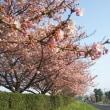 案内の帰り道で河津桜
