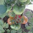 7月10日、カゴメの美味しい中玉トマトの現状。