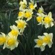 庭に咲いたスイセン3種