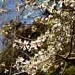 春日公園のコブシ