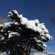 こんもりの雪と柴犬爺ちゃん