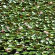 2 茶臼山(神宮寺山城230m:安佐北区)登山  ため池に「スイレン」が