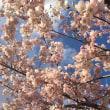 アメリカに咲くソメイヨシノ