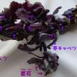紫キャベツ 芽 酢漬け