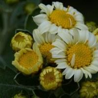 ハナイソギク(花磯菊)
