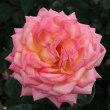 神代植物公園のバラ2011秋547
