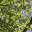 天拝山の樹木(天拝山歴史自然公園)4月 カツラ