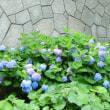 紫陽花ウォッチング