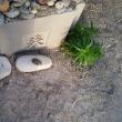 4/16長浜祭り 祭りの後で誰もいない長浜&神社  お参りは鳥居に塩花をお供えします。海岸に石に濡れた砂を載せたもの。大漁と安全祈願。特大の塩花を供えました。