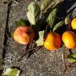 ご近所公園内の柿
