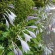 季節の花「擬宝珠 (ぎぼうし)」