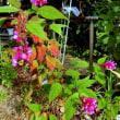 秋の花 眉刷毛オモト サルビア マラカス ミセバヤ 琉球朝顔 レオノチス 葉ボタン