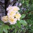 え、コニファも花が咲くのです