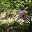ササユリ 咲き始める