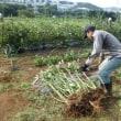 2017年10月9日(月祝) サツマイモ収穫(2)