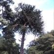 1998年のニュージーランド研究旅行 その8 アラウカリア