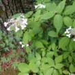 軽井沢山荘の庭、7月中旬の花