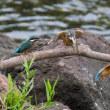 一期一会・・・鳥撮りの記  221 カワセミ