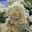 桜散り‥(´Д`)🍺つつじ咲き‥