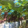 葡萄収穫!