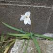 顔を出す 花ニラ 1輪 石の隙間
