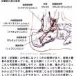 距骨(きょこつ)‥‥足関節の安定と歩行と重心移動