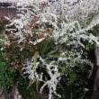 白色のクリスマスローズが咲きました~~!