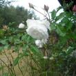 寒と雨の中で咲いてます。 バラのアイスバーグ