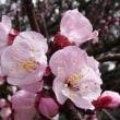 22日の散歩 ( 仁和寺と平野神社からの桜だより散歩 )