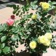 薔薇が花盛り