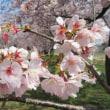 満開のアンギョウカンザクラ(安行寒桜)