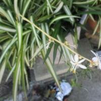 街の花とヤマトシジミ