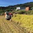 台風後の稲刈り
