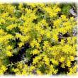 初夏に輝く花(^^♪お星さまキラキラ金銀砂子 星型の黄色い花「コモチマンネングサ(子持万年草) 」