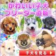 宮城県ペットショップ/日本犬人気NO1!柴犬