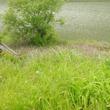 5月の櫛田川2