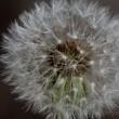 里山の野草-2 タンポポの綿毛