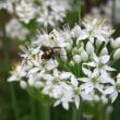 ヒロズキンバエと韮の花
