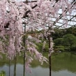 京の桜 2018 平安時宮 神苑 八重紅枝垂れ桜 後編