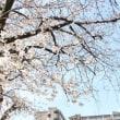 ♪♪ 今朝の大阪のサクラ開花状況。。。
